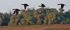 Das Donaudelta Bald Eagle, Bird, Animals, Animales, Animaux, Birds, Animal, Animais