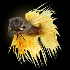 Yellow Crowntail with Black Background by Bruce Wyma, via Flickr