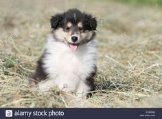 dog-rough-collie-scottish-collie-puppy-tricolor-sitting-in-a-field-D1WDND.jpg (1300×956)