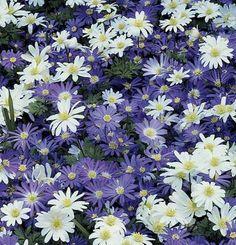 Anemone blanda   Fine Gardening\  www.MikeTheGardener.net