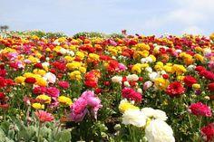 Conheça 13 belos campos floridos ao redor do mundo | Viagem