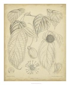 Botanical Illustration, Paintings and Prints at Art.com