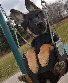 Deutscher Schäferhund Pup Classic Look - Baby Animals Pictures, Cute Animal Pictures, Animals And Pets, Fluffy Animals, Animal Pics, Cute Little Animals, Cute Funny Animals, Funny Dogs, Cutest Animals