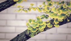 A beautiful Ginkgo tree that I saw while out for a walk the other day....