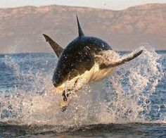 Flying Shark :) i will make it Cape Town one day to see them!!!