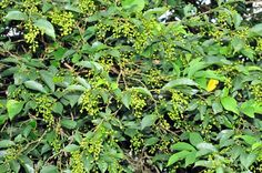 福星花園: 南投五月茶