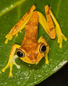 The Imbabura tree frog, Hypsiboas picturatus, is a species of frog in the Hylidae family found in Colombia and Ecuador