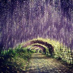 La cascada de flores púrpuras parece haber salido de un sueño o una pintura, pero son reales y puede ser disfrutadas por los visitantes de Kawachi Fuji Gardens, un jardín en Kitakyushu, Japón. Las plantas forman un túnel que impresiona por la densidad y la mezcla de tonos de verde y lila.