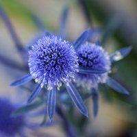 Eryngium planum / Sea Holly