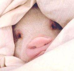 Pig in a blanket. Pet Pigs, Baby Pigs, Cute Baby Animals, Funny Animals, Farm Animals, Cute Piglets, Pot Belly Pigs, Teacup Pigs, Little Pigs