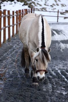 Norwegian Fjord Horse - named Pan Hero - Owned by 16yr. old Marie Lund of Norway