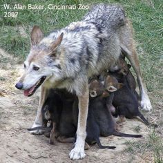 Wolf mom & pups. She looks a little tired.  So many pups.