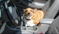 These pets REALLY want to take a car ride. Herding Dogs, Cute Corgi, Dog Car, Dog Rules, All Dogs, Funny Cute, Funny Dogs, Animal Pictures, Your Pet