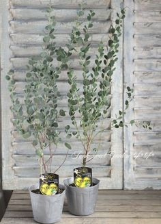 Eucalyptus ユーカリ ハートリーフ・ユーカリ 『ウェブステリアナ』 Big Indoor Plants, Potted Plants, Garden Plants, Privacy Landscaping, Green Garden, Green Flowers, Plant Decor, Trees To Plant, Garden Inspiration