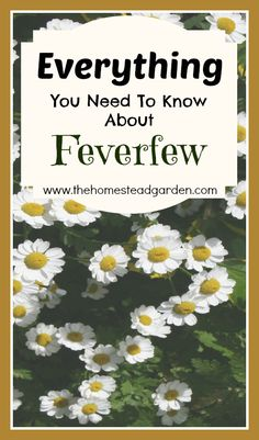 Herbal Medicine Everything You Need to Know About Feverfew - Learn everything you need to know about the herb called Feverfew, This post includes info about the medicinal benefits of feverfew as well as how to grow this lovely plant. Healing Herbs, Medicinal Plants, Natural Healing, Au Natural, Natural Home Remedies, Herbal Remedies, Health Remedies, Natural Medicine, Herbal Medicine