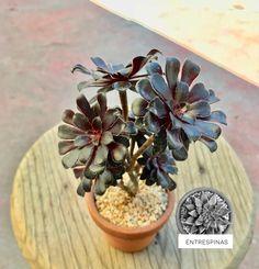 Aeonium schwarzkopf