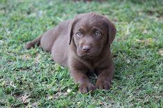 Opregte Sjokolade bruin labradors te koopIngeent en ontwurm