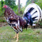 Imagenes De Gallos De Pelea Pintos | imagenes de gallos Gallo Pinto, Tom Murphy, Rooster Breeds, Game, Roosters, Animales, Colors, Life, Noel