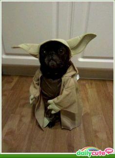 Yoda pug. Need I say more?