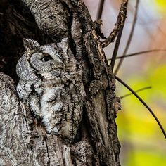 Beautiful owl..!!!   Credit : @john_james_audubon_center -  Eastern screech owl (Grey morph) watching an eagle fly over it's tree nest. I specially like this picture because of the owl with fall colors as a bokeh! Hope you like it as well :) . #owl #owls #owllove