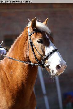 Finnhorse gelding Vekkuveli with a nice head marking
