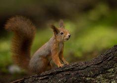 Squirrel by Anne Skjevik