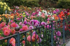 The dahlia garden in Golden Gate Park--in full bloom.