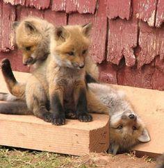 Playful fox family.