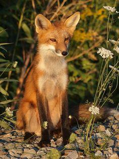 Red fox / Renard roux