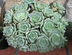 Graptoveria Titubans  This succulent is a hybrid between a Graptopetalum and Echeveria. It has striking grey-green coloured, fleshy spoon-shaped leaves growing in a rosette on a stem. It is a popular groundcover plant in rockeries and water-wise gardens.
