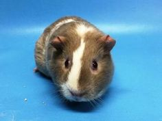 Ariana, Female Guinea Pig Available in Golden Valley, MN <3
