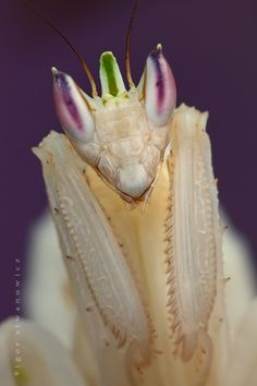 Orchid mantis Hymenopus coronatus. By Igor Siwanowicz