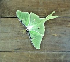 Luna Moth Photo 5x7 Signed Print Green Butterfly by 132Photography, $12.00