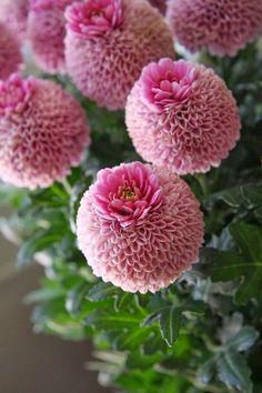 Chrysanthemum Crown, Jenny pink