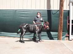 "Miniature Horse Costume Class  ""The Vet and her Patient""---he has a very big heart!"
