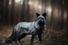 Silver Fox by IzaLysonArts #animals #animal #pet #pets #animales #animallovers #photooftheday #amazing #picoftheday