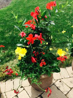 mandevilla vine in a pation concrete container very tolerant to full sun and heat landscape. Black Bedroom Furniture Sets. Home Design Ideas