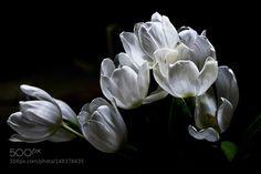 White tulips by susheller