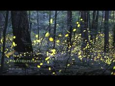Tennessee Fireflies: Realtime Stock Footage - YouTube - This is one of the rarest phenomena on earth. Many people from all over the world travel every year during summer to The Smoky Mountain National Park in Tennessee to witness thousands of Synchronous Fireflies.