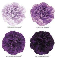 Moon Series Carnations