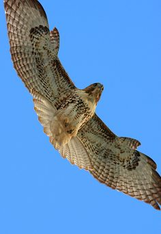 Red-Tailed Hawk | Mt. Lemmon SkyCenter