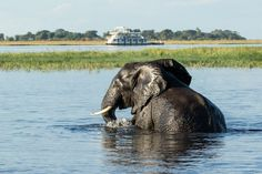 What a sight! An elephant having a swim in the Chove river with the Pangolin Houseboat in the background. Welcome Aboard, Continents, Safari, Cruise, Wildlife, Elephant, Africa, Around The Worlds, Tours