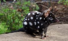Eastern quolls, extinct on mainland, to be reintroduced in NSW national park » Focusing on Wildlife