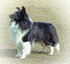https://flic.kr/p/E7FPD1 | Bi-Black Shetland Sheepdog