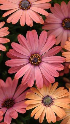 gerbera daisies- my favorite flowers Most Beautiful Flowers, My Flower, Pretty Flowers, Pink Flowers, Happy Flowers, Dalia Flower, Beautiful Things, Flower Colors, Bohemian Flowers