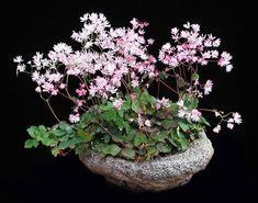 Monkshood thalictrum kiusianum - Part shade h x 12 w Bonsai Art, Bonsai Garden, Garden Plants, Plant Projects, Garden Projects, House Plants Decor, Plant Decor, Moss Garden, Garden Art