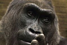 Gorilla, A Portrait by Bruce Patrick Smith on 500px.    Colo at the Columbus Zoo.  Oldest gorilla born in captivity. NC ZOO'S baby boy gorillas are her great - grandsons thru dad N'Kosi passed away Fall 2012.