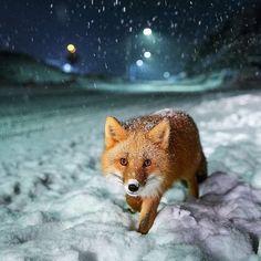 A red fox in Alaska