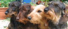 Elevage familial de teckels à poil dur nains et kaninchen et de scottishs…