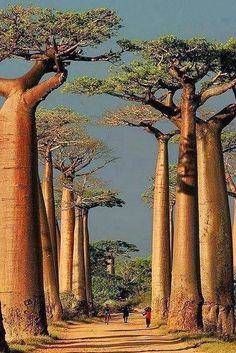 Baobab Alley ~ Morondava, Toliara, Madagascar / The Baobab is the oldest life form on the African continent. In general, Baobab trees can grow up to tall, and can live for years! Places To Travel, Places To See, Travel Destinations, Travel Tips, Africa Destinations, Travel Hacks, Places Around The World, Around The Worlds, Beautiful World